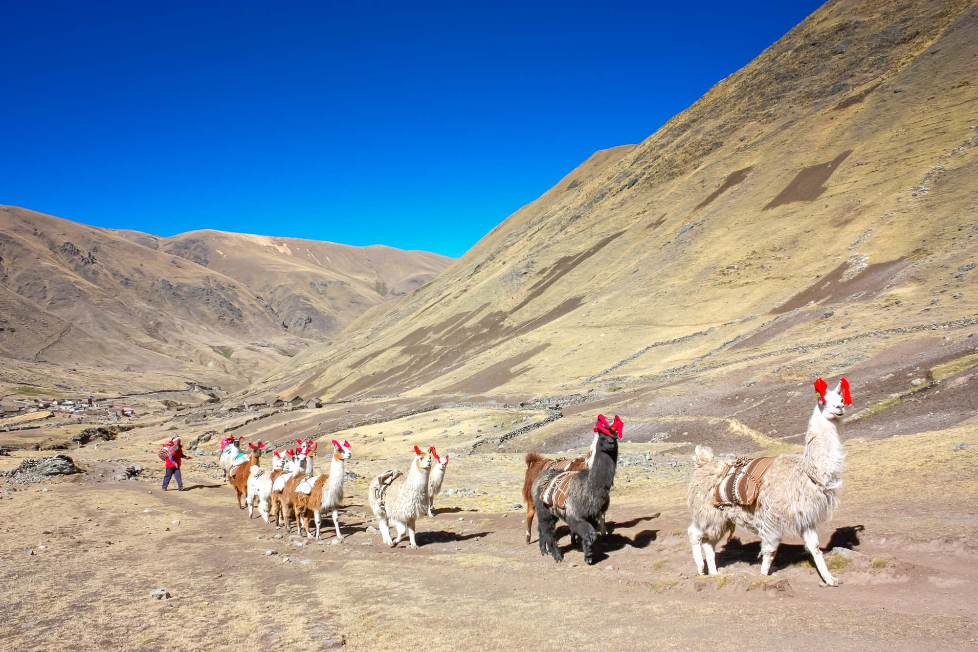 Man herds llamas through high Andean landscape